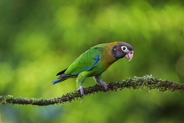 Brown-hooded Parrot (Pyrilia haematotis), Alajuela, Costa Rica