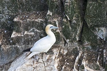 Northern Gannet (Morus bassanus) on cliff, Cape St. Mary's Ecological Reserve, Newfoundland and Labrador, Canada
