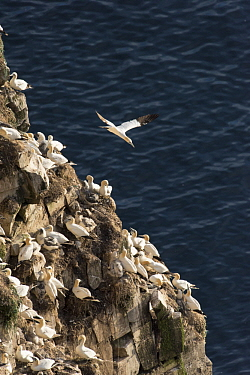 Northern Gannet (Morus bassanus) flying near nesting colony, Cape St. Mary's Ecological Reserve, Newfoundland and Labrador, Canada