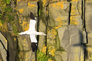 Northern Gannet (Morus bassanus) flying, Cape St. Mary's Ecological Reserve, Newfoundland and Labrador, Canada