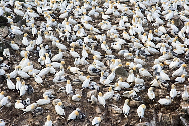Northern Gannet (Morus bassanus) nesting colony, Cape St. Mary's Ecological Reserve, Newfoundland and Labrador, Canada