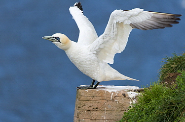 Northern Gannet (Morus bassanus) taking flight, Cape St. Mary's Ecological Reserve, Newfoundland and Labrador, Canada