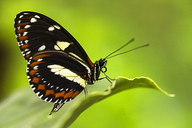 False Zebra Longwing (Heliconius atthis) butterfly, Mindo Cloud Forest, Ecuador