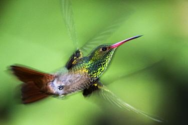 Rufous-tailed Hummingbird (Amazilia tzacatl) male flying, Mindo Cloud Forest, Ecuador