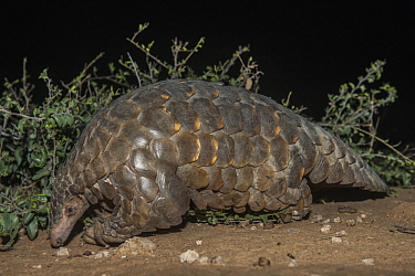 Cape Pangolin (Manis temminckii) at night, Limpopo, South Africa