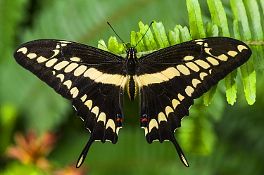 Thoas Swallowtail (Papilio thoas) butterfly, Mindo Cloud Forest, Ecuador