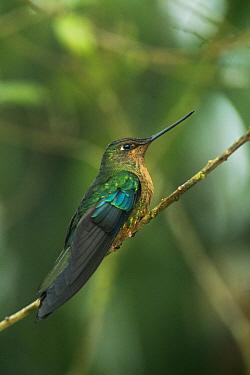 Great Sapphirewing (Pterophanes cyanopterus) hummingbird, Yanacocha Reserve, Pichincha Volcano, Ecuador