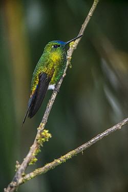 Sapphire-vented Puffleg (Eriocnemis luciani) hummingbird, Yanacocha Reserve, Pichincha Volcano, Ecuador