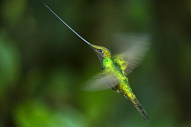 Sword-billed Hummingbird (Ensifera ensifera) flying, Yanacocha Reserve, Pichincha Volcano, Ecuador