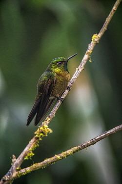 Tyrian Metaltail (Metallura tyrianthina) hummingbird, Yanacocha Reserve, Pichincha Volcano, Ecuador