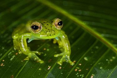 Emerald Glass Frog (Centrolene prosoblepon), Mashpi Rainforest Biodiversity Reserve, Pichincha, Ecuador