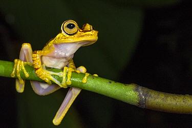 Chachi Tree Frog (Hypsiboas picturatus), Mashpi Rainforest Biodiversity Reserve, Pichincha, Ecuador