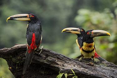 Pale-mandibled Aracari (Pteroglossus erythropygius) trio, Mashpi Rainforest Biodiversity Reserve, Pichincha, Ecuador
