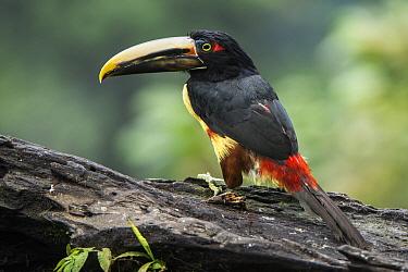 Pale-mandibled Aracari (Pteroglossus erythropygius), Mashpi Rainforest Biodiversity Reserve, Pichincha, Ecuador