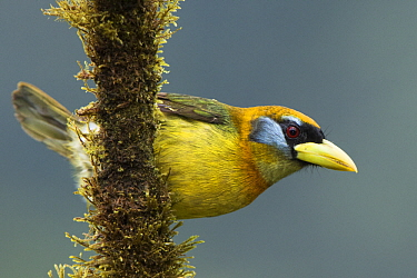 Red-headed Barbet (Eubucco bourcierii), Mashpi Rainforest Biodiversity Reserve, Pichincha, Ecuador