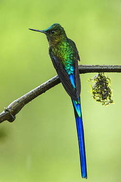 Long-tailed Sylph (Aglaiocercus kingi) male, Mashpi Rainforest Biodiversity Reserve, Pichincha, Ecuador