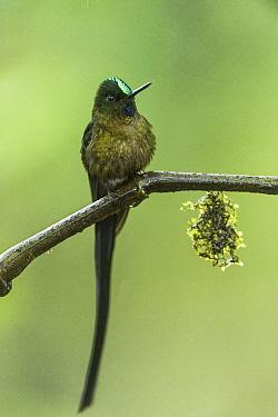 Long-tailed Sylph (Aglaiocercus kingi) male, Mashpi Rainforest Biodiversity Reserve, Pichincha, Ecuador