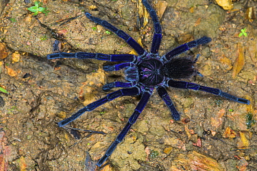 Tarantula (Pamphobeteus sp), Mashpi Rainforest Biodiversity Reserve, Pichincha, Ecuador