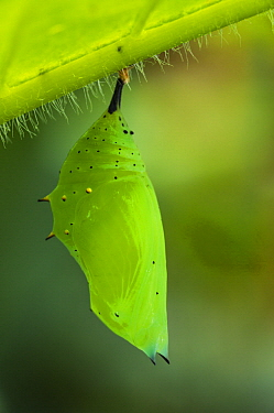 Rusty-tipped Page (Siproeta epaphus) chrysalis, Mashpi Rainforest Biodiversity Reserve, Pichincha, Ecuador, sequence 1 of 3