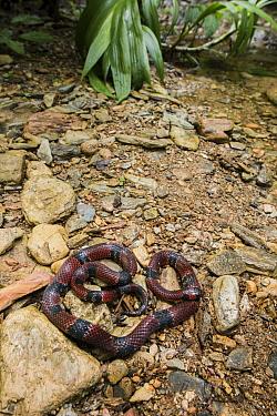 Mimic False Coral Snake (Erythrolamprus mimus micrurus), Mashpi Rainforest Biodiversity Reserve, Pichincha, Ecuador