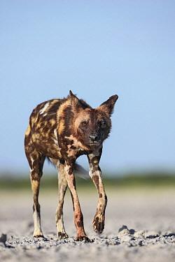 African Wild Dog (Lycaon pictus) in salt pan, Nxai Pan National Park, Botswana