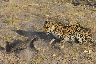 Leopard (Panthera pardus) female fighting with Honey Badger (Mellivora capensis), Africa