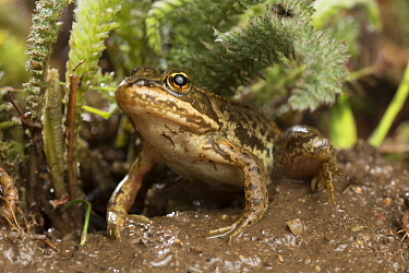 Columbia Spotted Frog (Rana luteiventris) at night, Big Hole National Battlefield, Montana