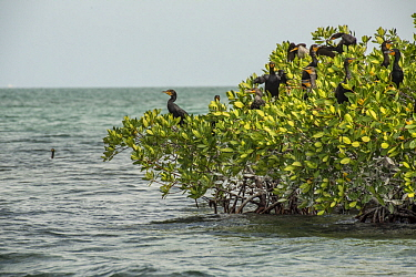 Double-crested Cormorant (Phalacrocorax auritus) group nesting in Red Mangroves (Rhizophora mangle), Biscayne Bay, Florida