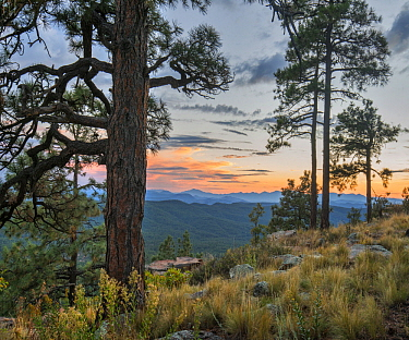 Ponderosa Pine (Pinus ponderosa) trees, Mogollon Rim, Mazatzal Wilderness, Coconino National Forest, Arizona