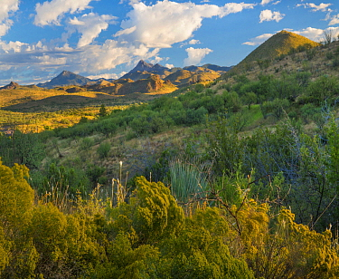 Chamisa (Atriplex canescens) bushes in shrubland, Santa Rita Mountains, Arizona