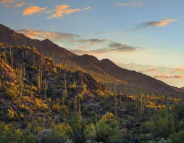 Saguaro (Carnegiea gigantea) cacti in desert, Tucson Mountains, Arizona