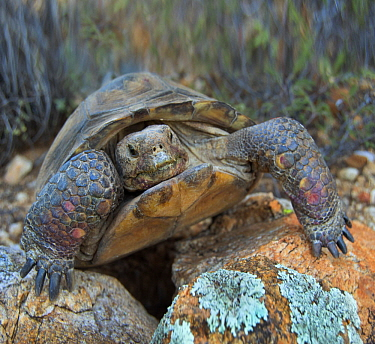 Desert Tortoise (Gopherus agassizii), Santa Catalina Mountains, Arizona