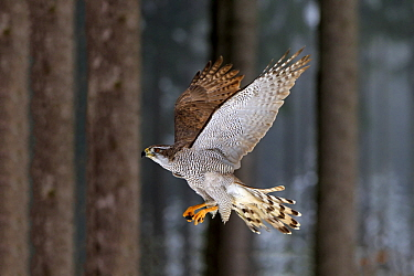 Northern Goshawk (Accipiter gentilis) flying in winter, Zdarske Vrchy, Bohemian-Moravian Highlands, Czech Republic