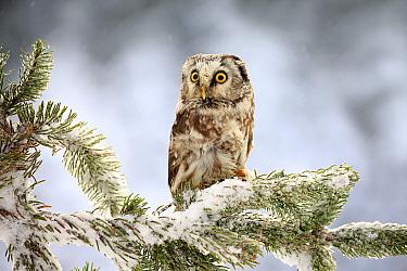 Boreal Owl (Aegolius funereus) in winter, Zdarske Vrchy, Bohemian-Moravian Highlands, Czech Republic