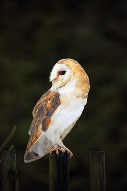 Barn Owl (Tyto alba), Zdarske Vrchy, Bohemian-Moravian Highlands, Czech Republic