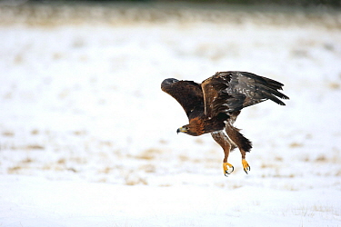 Golden Eagle (Aquila chrysaetos) flying in winter, Zdarske Vrchy, Bohemian-Moravian Highlands, Czech Republic