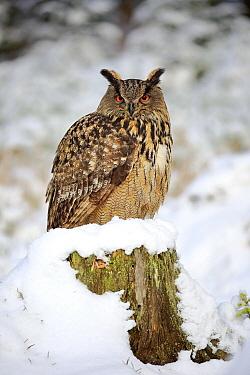 Eurasian Eagle-Owl (Bubo bubo) in winter, Zdarske Vrchy, Bohemian-Moravian Highlands, Czech Republic