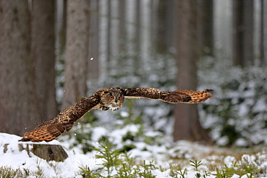Eurasian Eagle-Owl (Bubo bubo) flying in winter, Zdarske Vrchy, Bohemian-Moravian Highlands, Czech Republic