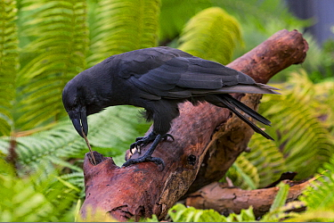 Hawaiian Crow (Corvus hawaiiensis) using stick tool to reach food, native to Hawaii