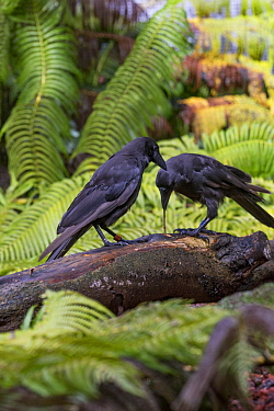 Hawaiian Crow (Corvus hawaiiensis) pair using stick tool to reach food, native to Hawaii