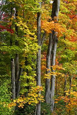 Maple (Acer sp) trees in autumn, Mont-Tremblant, Quebec, Canada