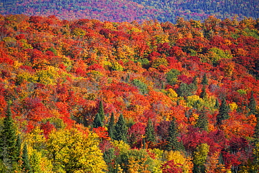 Maple (Acer sp) trees in deciduous forest in autumn, Mont-Tremblant, Quebec, Canada
