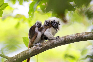 Cotton-top Tamarin (Saguinus oedipus) mother carrying twin babies, northern Colombia