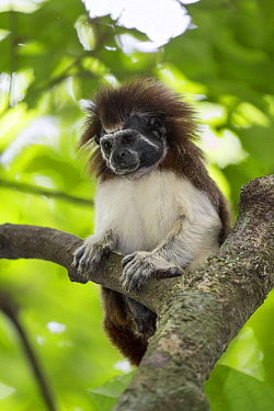Cotton-top Tamarin (Saguinus oedipus) female with hair dyed for identification, northern Colombia