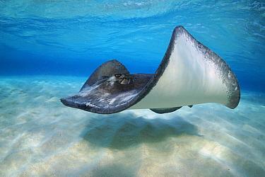 Atlantic Stingray (Dasyatis sabina) swimming, Grand Cayman, Cayman Islands, Caribbean