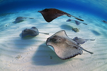 Atlantic Stingray (Dasyatis sabina) group swimming, Grand Cayman, Cayman Islands, Caribbean