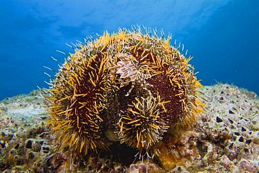 Adam's Urchin Crab (Zebrida adamsii) on sea urchin, Kashima Island, Japan