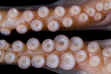 Common Octopus (Octopus vulgaris) tentacles showing suction cups, Japan