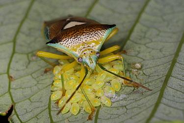 Shield Bug (Sastragala esakii) parent protecting young, Japan