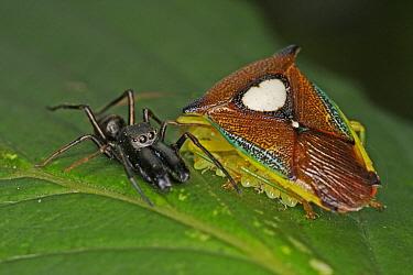 Shield Bug (Sastragala esakii) parent protecting young from spider, Tokyo, Japan